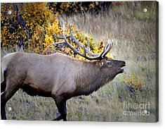 Acrylic Print featuring the photograph Bugling Elk  In Rmnp by Nava Thompson