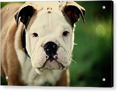 Bull Dog Acrylic Print by Muoo Photography