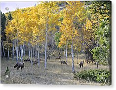 Acrylic Print featuring the photograph Bull Elk And Harem by Nava Thompson