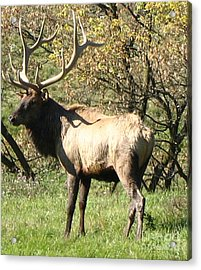 Bull Elk  Acrylic Print by The Kepharts