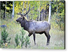 Acrylic Print featuring the photograph Bull Elk by Nava Thompson