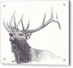 Bull Elk Acrylic Print by Nicole Grattan