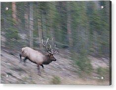 Bull Elk On The Run Acrylic Print