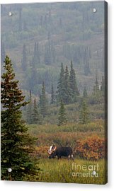 Bull Moose In Alaska Acrylic Print by Karen Lee Ensley