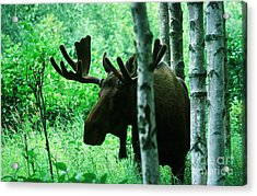 Bull Moose  Acrylic Print by Ronnie Glover