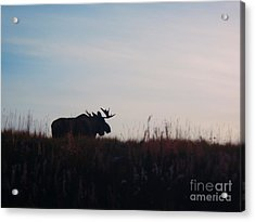 Bull Moose Silhouette Acrylic Print by Adam Owen