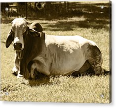 Bull Acrylic Print by Steve Sperry