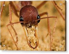 Bulldog Ant Myrmecia Gulosa Worker Acrylic Print by Mark Moffett