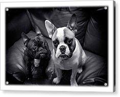 Bulldog Buddies Acrylic Print