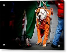 Bulldog In Orange Costume Acrylic Print