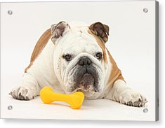 Bulldog With Plastic Chew Toy Acrylic Print by Mark Taylor