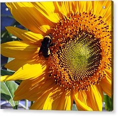 Acrylic Print featuring the photograph Bumble Bee And Sunshine by Lynnette Johns