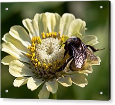 Acrylic Print featuring the photograph Bumble Bee  by Anna Rumiantseva