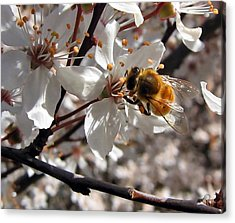 Bumble Bee On A Cherry Blossom Acrylic Print