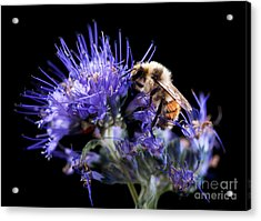 Bumble Bee On Blue Flower Acrylic Print