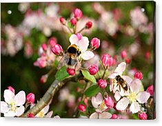 Bumble Blossom Acrylic Print