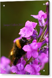 Bumble Acrylic Print by Jacqui Collett