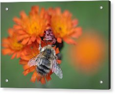 Acrylic Print featuring the photograph Bumblebee And Orange Hawkweed by Ronda Broatch