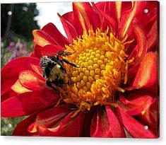 Bumblebee Dahlia Acrylic Print
