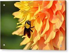 Bumblebee Acrylic Print by Fotosas Photography