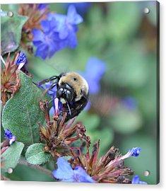 Bumblebee In Plumbago Larpentae Acrylic Print