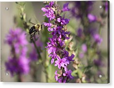 Bumblebee On The Fly Acrylic Print