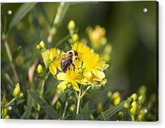 Bumblebee On Yellow Acrylic Print