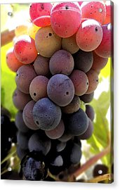 Bunch Of Ripening Grapes Acrylic Print by Anne Mott
