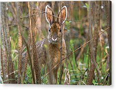 Acrylic Print featuring the photograph Bunny by Josef Pittner