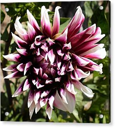 Burgundy And White Dahlia Acrylic Print by D J Larsen