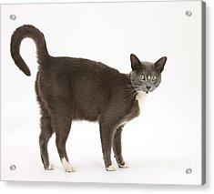 Burmese-cross Cat Acrylic Print by Mark Taylor