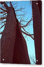 Burned Trees 6 Acrylic Print