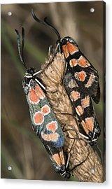 Burnet Moths Mating Acrylic Print by Paul Harcourt Davies