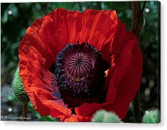 Acrylic Print featuring the photograph Burning Poppy by Mitch Shindelbower