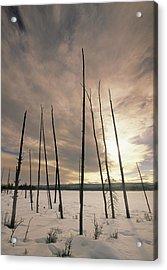 Burnt Pieces Of Black Spruce, Boggy Acrylic Print