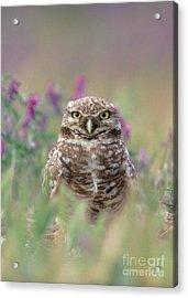 Burrowing Owl Acrylic Print by Doug Herr