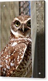 Burrowing Owl On Enclosed Window Seal Acrylic Print by Mark Duffy