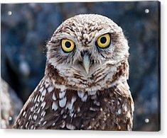 Burrowing Owl Portrait Acrylic Print by David Martorelli