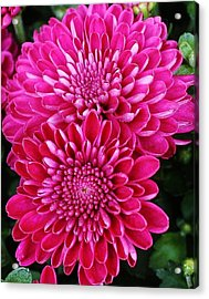 Burst Of Pink Acrylic Print by Bruce Bley