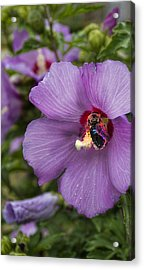 Busy Bee Acrylic Print by Peter Chilelli