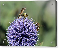 Busy Bees Acrylic Print by Janet Mcconnell