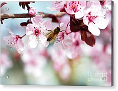 Busy Buzzing Around These Beautiful Blooms... Acrylic Print