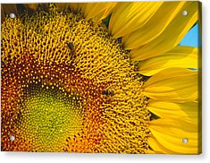 Busy Sunflower Acrylic Print