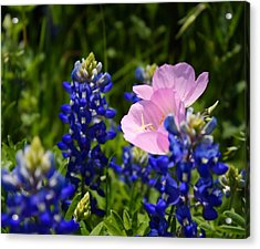 Acrylic Print featuring the photograph Butter Blue by Lynnette Johns