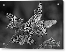Butter Flies  Acrylic Print