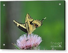 Acrylic Print featuring the photograph Butterflies Are Free by Kathy  White