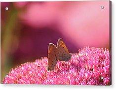 Butterflies Mating Acrylic Print by Darren Moston