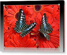 Acrylic Print featuring the photograph Butterflies On Red Flowers by Rima Biswas