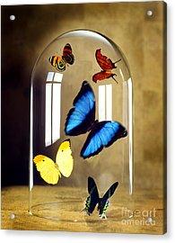 Butterflies Under Glass Dome Acrylic Print by Tony Cordoza