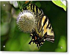 Butterfly 3 Acrylic Print by Joe Faherty